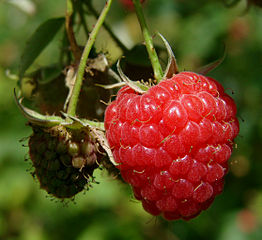 raspberry ketone weight loss miracle