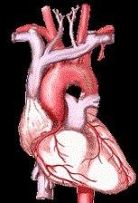 healthy cardio-vascular system