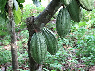 The cacao plant produces cocoa beans. Roasting and grinding the fermented seeds produce dark chocolate