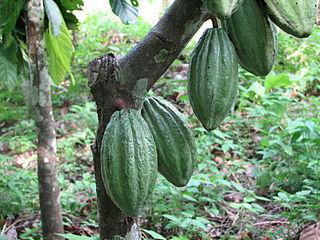 Delicious cacao plant