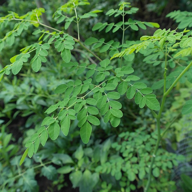 Moringa is considered a super food in African and Asian cultures Native to Africa, it is known as Nebedaye, which means, never die, it is considered the Miracle Tree of Life